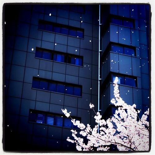桜吹雪〜。