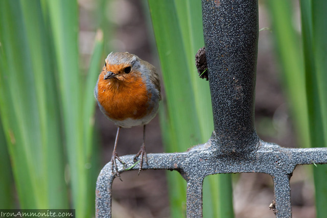 Robin on my pitch fork