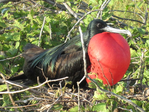 Great Frigate Bird Posing