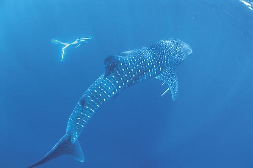 004426-835-whale sharks.jpg
