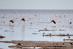 flamingos flying away... (erbecke) Tags: lake mar flying flamingo away chiquita flamenco