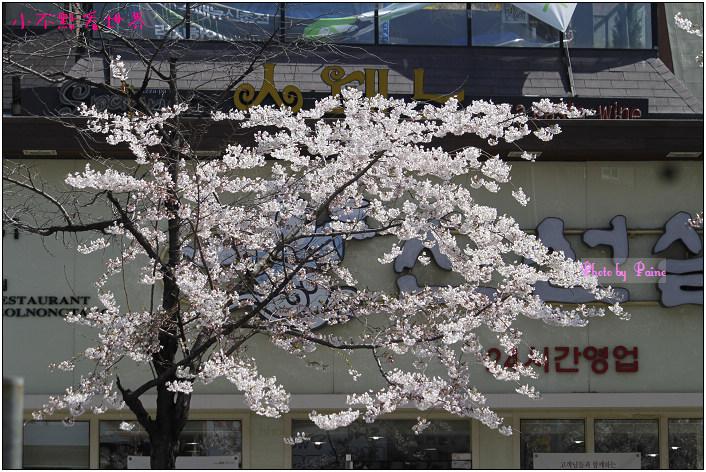弘益大學附近櫻花 (6).jpg