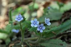 自然環境保全センターのヤマルリソウ(Flower, Nature Preservation Center, Kanagawa, Japan)