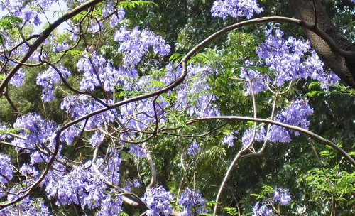 "Jacarandas 03 • <a style=""font-size:0.8em;"" href=""http://www.flickr.com/photos/30735181@N00/5638485814/"" target=""_blank"">View on Flickr</a>"