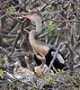 Anhinga nesting at Wakodahatchee Wetlands (Oomphoto - Nancy G. Villarroya) Tags: birds florida chicks anhinga anhingachicks nikond90 wakodahacheewetlands thewonderfulworldofbirds nikonafsvrzoomnikkor70300mmf4556 anhingamotherandchicks