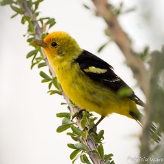 Western Tanager (Patricia Ware) Tags: california canon westerntanager pirangaludoviciana vallecito supershot specanimal avianexcellence anzaborregodessert 5wonderwall