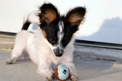 Playing (Pappup2010) Tags: dog pet white black color cute animal puppy toy small tan canine papillon tricolor tri pap