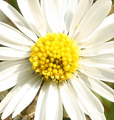 Daisy Sun by Feggy Art, on Flickr