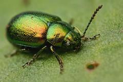 DOCK BEETLE  GASTROPHYSA VIRIDULA  #1 (GOLDENORFE) Tags: macro insect beetle dockbeetle
