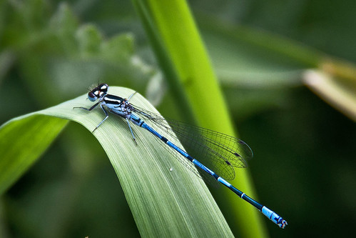 Common Blue Damselfly - 52 WFND 17/52