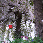 Single Red Tulip in a Bed of Periwinkle and Fringed Bleeding Hearts Below Weeping Flowering Trees thumbnail