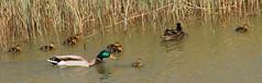 Out with the kids (tim ellis) Tags: uk family reeds duck duckling nationalforest photofriday mallard drake moira conkers anasplatyrhynchos ashbycanal moirafurnace taxonomy:binomial=anasplatyrhynchos