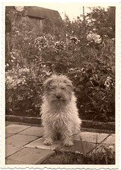 What a wonderful dog! (sctatepdx) Tags: flowers dog found backyard vernacular pavers shaggydog vintagedog