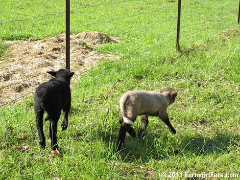 Little lambs on the run