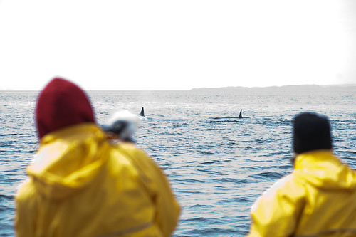 Shooting A Pod of Orcas