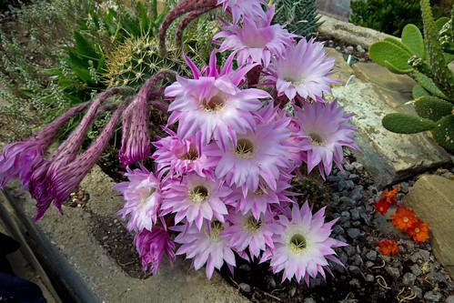 Thwaite Cactus Flower