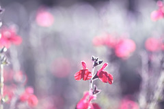 ...uncertain memories... (jewelflyt) Tags: pink light macro grey blurry bokeh gray salvia blartsy