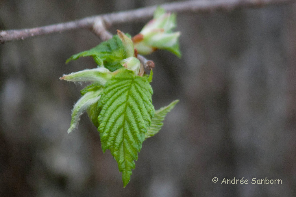 American Elm leaf-3.jpg