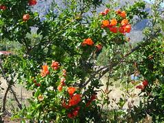 Granatapfelbaum kurz vor Pollenca
