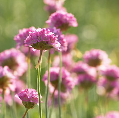 When the Sun Shines (Lala Lands) Tags: dof bokeh thrift goldenhour pinkflowers macroflowers seapink armeria nikkor105mmf28 nikond90 afternooninthegarden