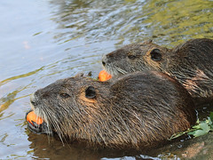 Nutrias / Biberratten / Coypus (Myocastor coypus) (Sexecutioner) Tags: portrait nature animal animals canon germany deutschland zoo tiere hessen wildlife natur dortmund nordrheinwestfalen nutria tier nauheim coypu 2011 ragondin wasserratte beverrat myocastor coypus myocastorcoypus nutriarat coipu nutrie biberratte zoodortmund sumpfbiber coypurat schweifbiber schweifratte ratodobanhado grosgerau nutrija coip copyrightsexecutioner rataodobanhado swampbeaver bverrotte sumpbver rmemajava bjrrotta beverrotte sumpbever sumpbver sumaymunu