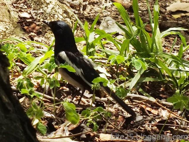 กางเขนตัวผู้  Male Oriental Magpie Robin