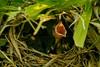 Filhote de Pardal (Jaimir Marcon Fotografias) Tags: fauna de flora plantas natureza animais pardal fotografo bacurau bentivi jaimir jaimirimagens imagensfilhote naturezagaucha