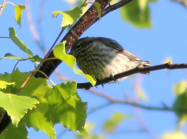 Fledgling Yellow-rumped Warbler 20110618