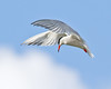 Tern again (Andrew Haynes Wildlife Images) Tags: bird nature wildlife flight rutland tern rutlandwater canon7d ajh2008