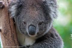 Staring Koala (edgarator) Tags: park wildlife south australia koala adelaide gorge sa