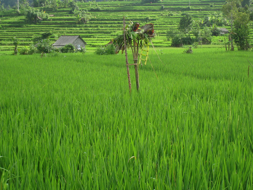 Green fields, Sideman, Bali