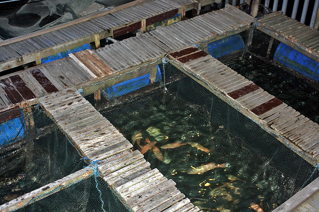 Live fish and seafood kept underneath the restaurant