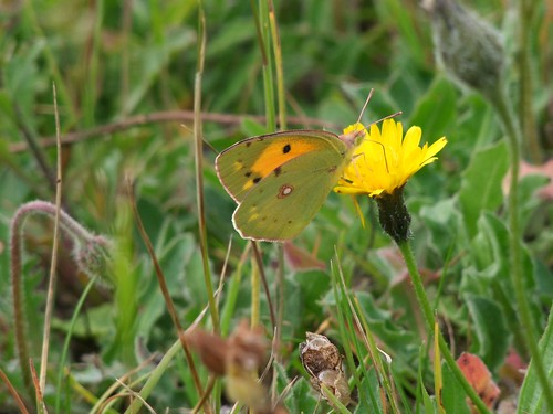 Clouded Yellow butterfly (2) by Lynmiranda