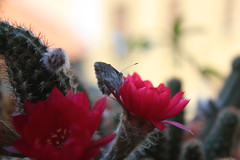 The butterfly breakfast. (ZenZer0Zer0) Tags: cactus cacti butterfly insects fiori cactaceae piante insetti cactacee