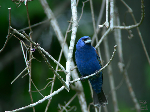 Blue Grosbeak, May 2011