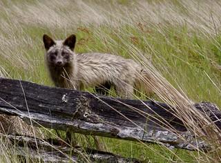Beautiful Brown Fox