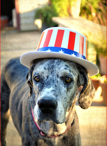 Patriotic Blue Merle Great Dane in red white and blue star striped hat