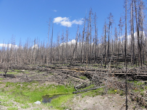 Yellowstone Burnt Forrest