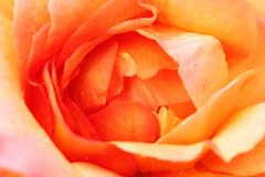 Rose 1 (gripspix (OFF)) Tags: castle rose germany deutschland badenwrttemberg weikersheim scloss schlossweikersheim maintauberkreis tauberfranken 20130821