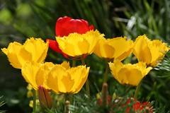 Tulips (ivlys) Tags: flowers nature sunshine germany deutschland spring tulips blumen darmstadt frühling tulpen sonnenschein minigarden ivlys