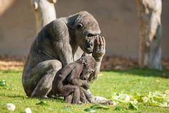 2014-04-17-09h34m16.272P6711 (A.J. Haverkamp) Tags: germany zoo gorilla muenster mnster munster dierentuin changa demba westelijkelaaglandgorilla pobfrankfurtgermany dob09061996 httpwwwallwetterzoode pobmnstergermany canonef500mmf4lisiiusmlens dob13012013 changamadi