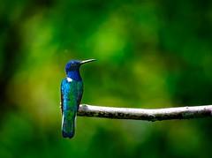 A Defining Pose (miTsu-llaneous) Tags: trinidad trinidadandtobago nature bird animal wildlife hummingbird whiteneckedjacobin pose florisugamellivora perched nikon d5200 nikkor 70300mm