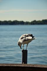 DSC_1442s (LG_92) Tags: toronto canada summer september 2016 nikon dslr d3100 lake ontario water seagull bird outdoor