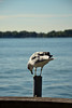 DSC_1442s (LG_92) Tags: toronto canada summer september 2016 nikon dslr d3100 lake ontario water seagull bird outdoor