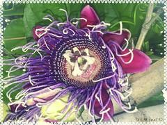fleur de fruit de la passion (GMGprod') Tags: passiflor fruit bygmgprod fleur flower colors garden jardin fruitdelapassion