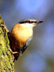 Nuthatch Bonanza! 1000+ views (Ger Bosma) Tags: bird dutch europe european thenetherlands nuthatch sittaeuropaea boomklever kleiber img2708 trepadorazul sittelletorchepot exit3a picchiomuratore doublyniceshot tripleniceshot mygearandmegold mygearandmeplatinum exitroe exitph