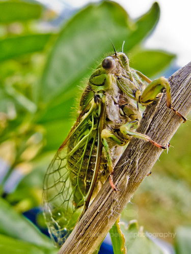Lemon Tree Cicada
