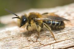 Andrena dorsata (m)