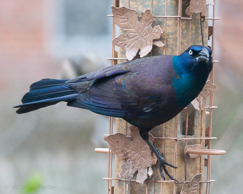 Grackle at the feeder...