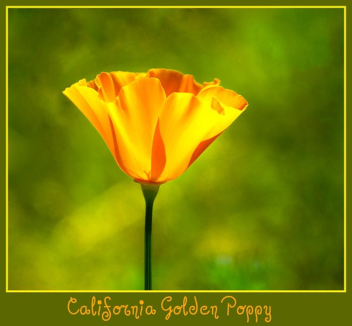 California state flower the golden poppy d2x 3 31 114255 a california state flower the golden poppy d2x 3 31 114255 mightylinksfo